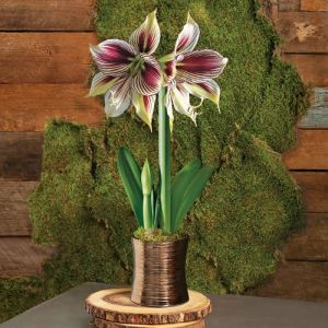 Papilio: One of J&P's most gorgeous new Amaryllis!