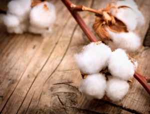 Cotton. Beautiful Cotton plant buds over wooden background