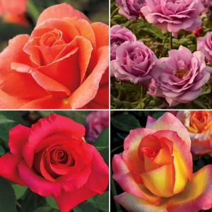 New Roses 2016 Collection