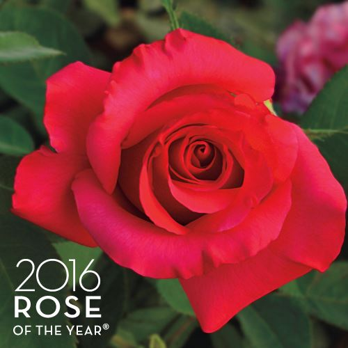 April Moon Hybrid Tea Rose