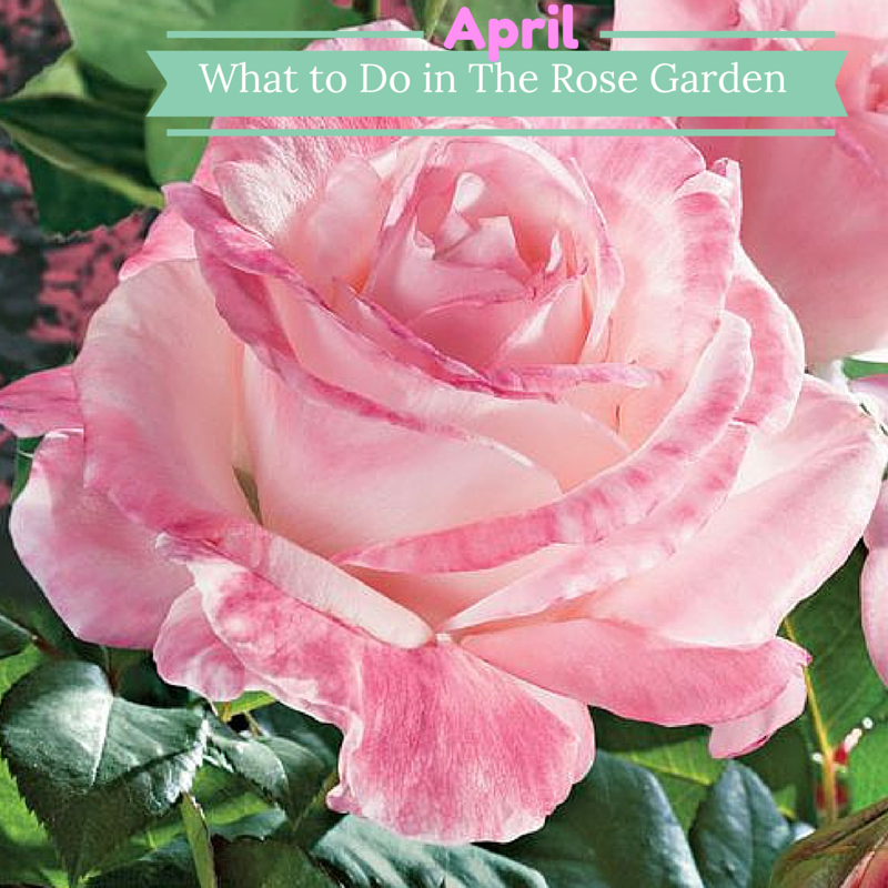 Featuring April in Paris Hybrid Tea Rose.