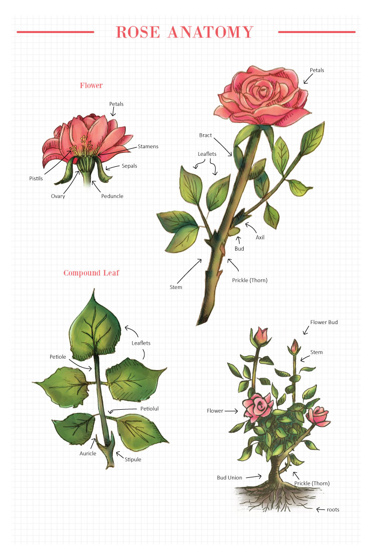 All the parts of a rose.