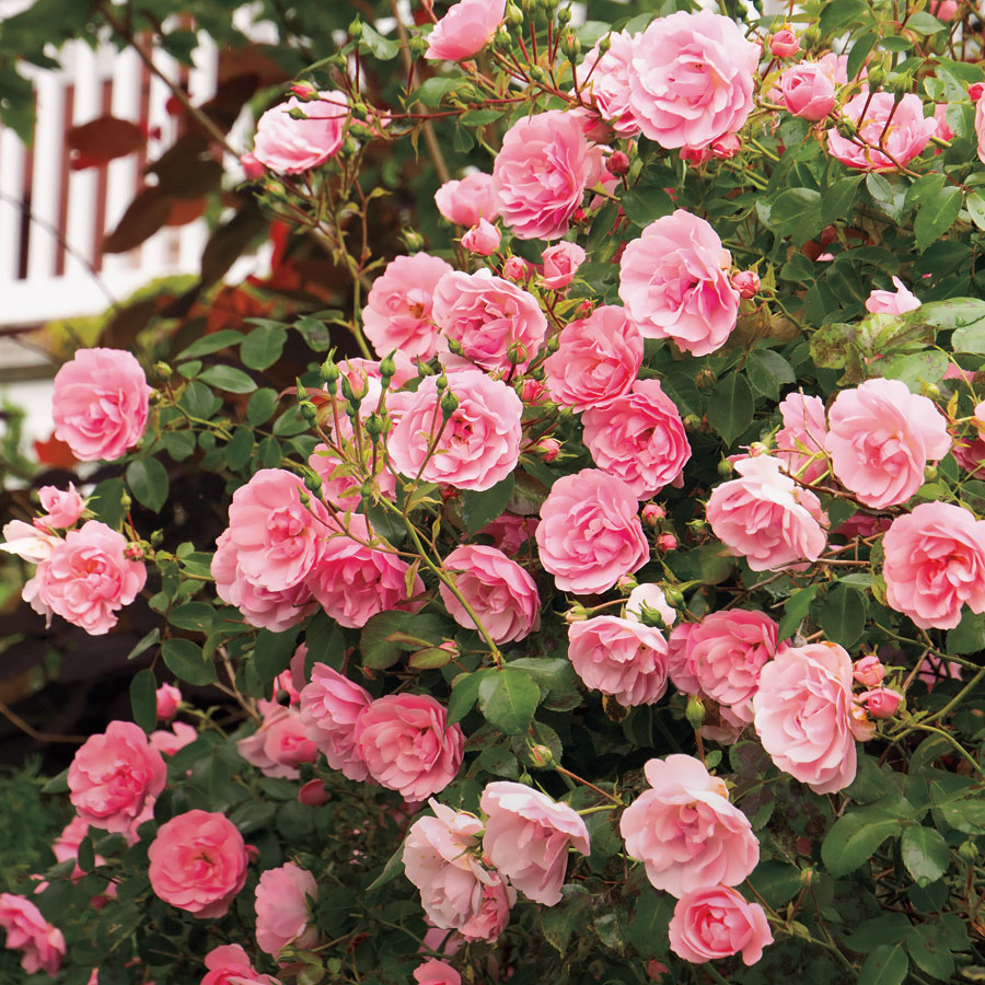 Pruning Roses - Official Blog of Jackson & Perkins