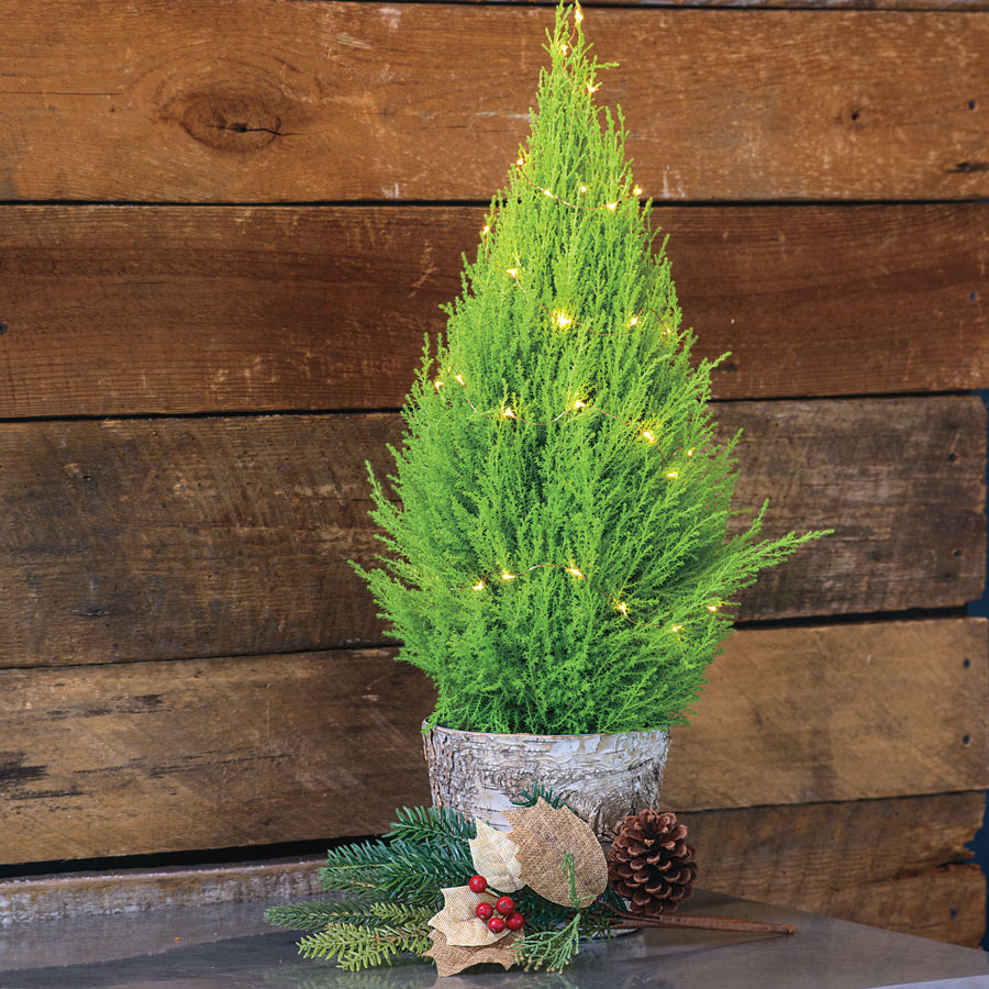 Lemon Cypress In Birch Container