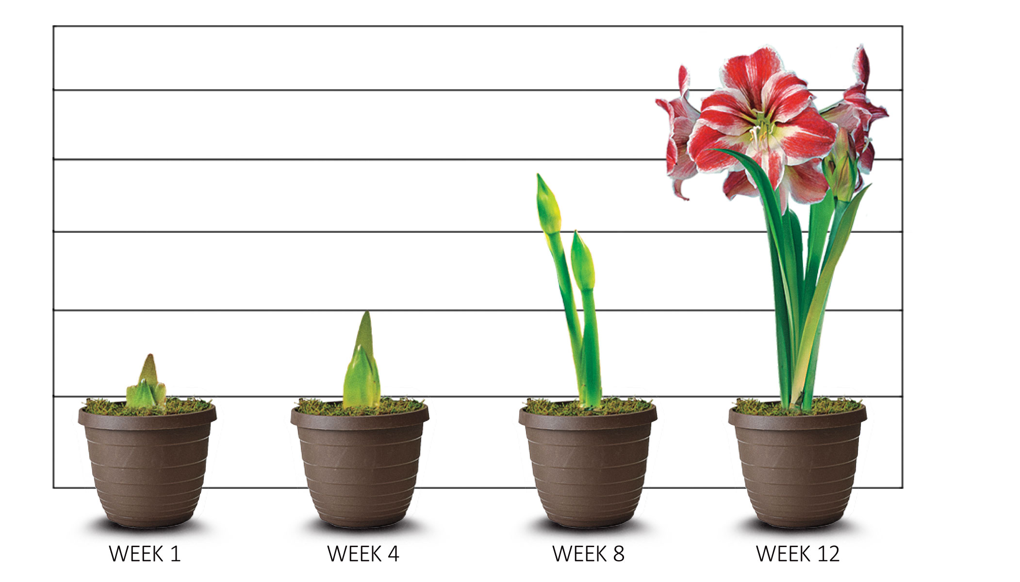 Amaryllis Growth Stages