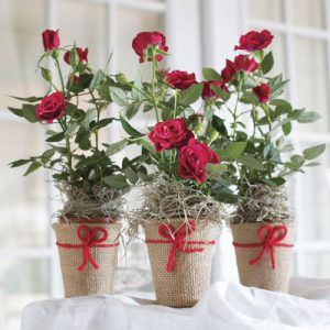 Red Roses in Votive
