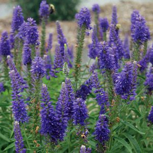 Image of Drought Tolerant Perennials