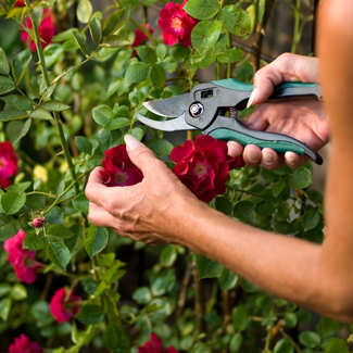 Pruning Roses For Fall Blooms Official Blog Of Jackson Perkins