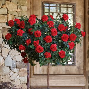 Always And Forever® 24 Inch Patio Tree Rose
