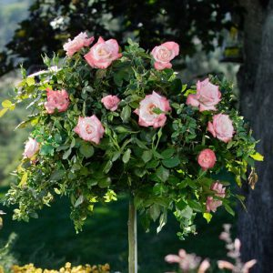 Image of Tree Roses