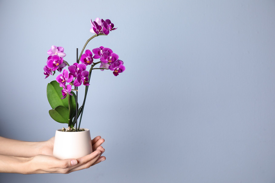 Woman holding flowerpot with beautiful orchid