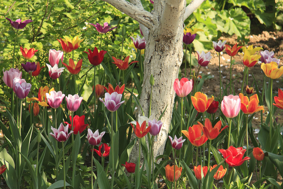 a group colorful tulips surrounding a tree