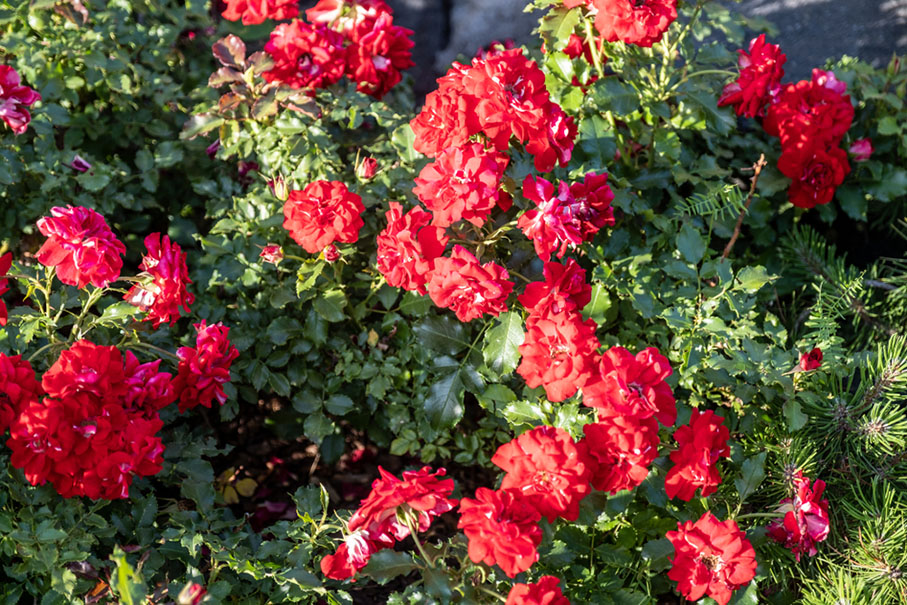 a ground cover rose bush flowering