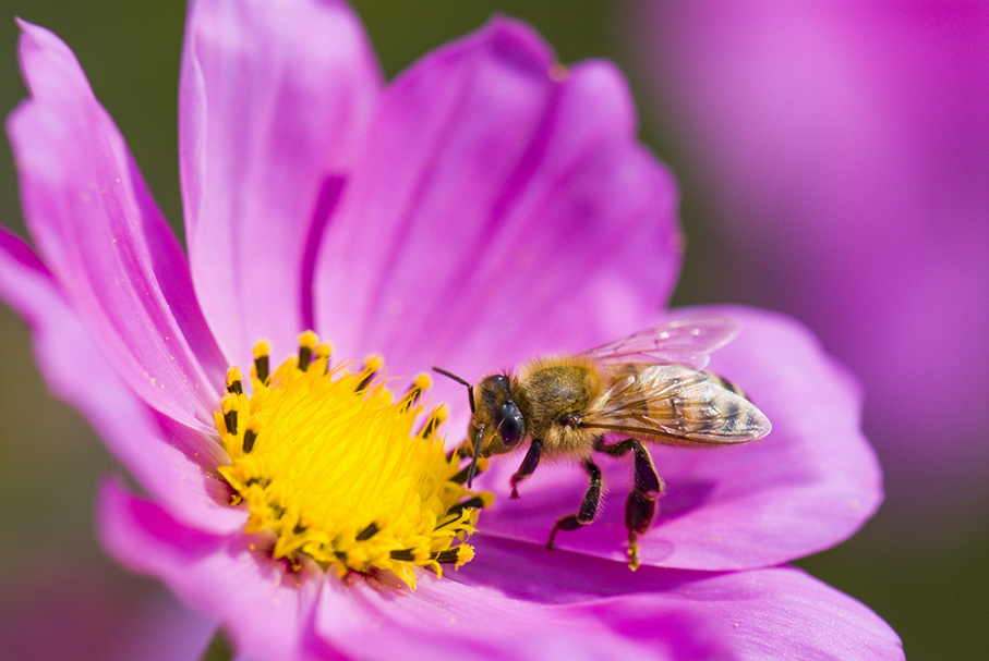 a close up of  a bee pollinating a daisy